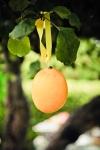 Lemon7-159